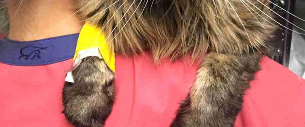 gatto con zampa ingessata, Clinica Veterinaria Modena Sud
